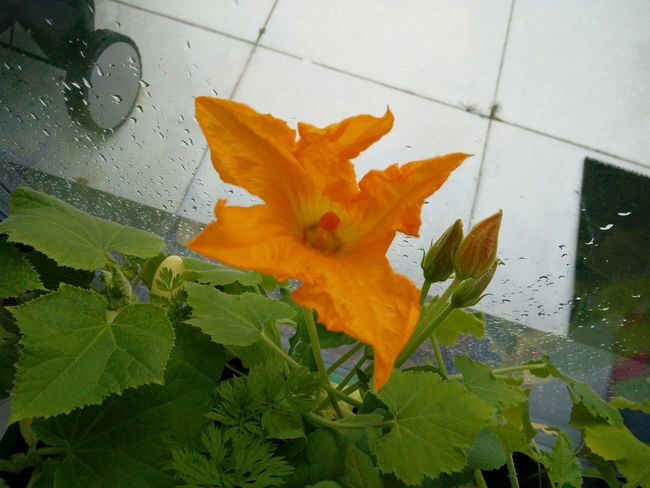 First Courgette Flower in our mini garden that still needs to get moved outside