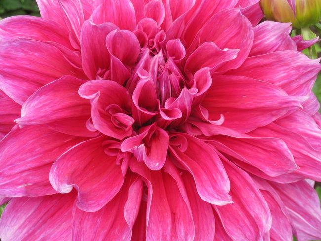 No Filter Dahlia My Fav♡ Flowers