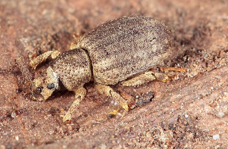 Weevil Meira Little Insects Macro Insects Macro Nature Coleoptera Beetle