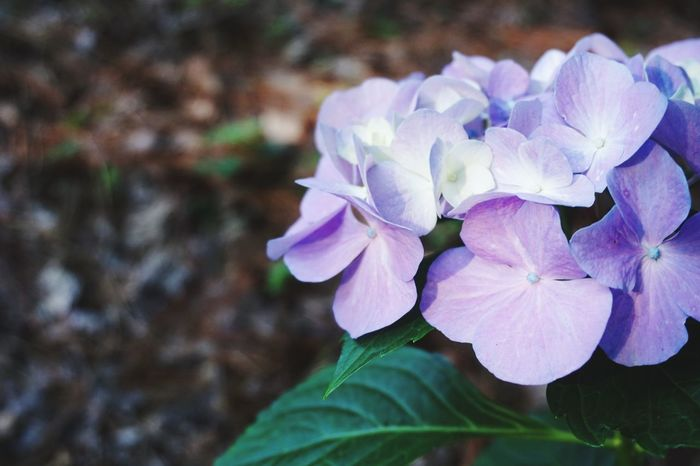Hydrangea Flower Nature Beauty In Nature Petal Plant Freshness Outdoors Close-up Day The Great Outdoors - 2017 EyeEm Awards EyeEmNewHere