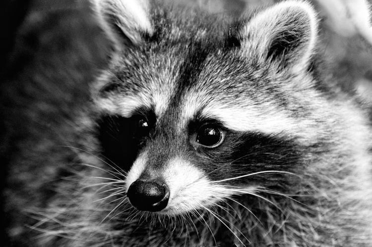 Monochrome Photography One Animal Animal Themes Racoon Racoon Eyes Focus On Foreground No People Animal Nose Day Eyeemphotography Nature Photography Natures Diversities Outdoors Photograpghy  From My Point Of View