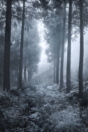 Tree Forest Fog