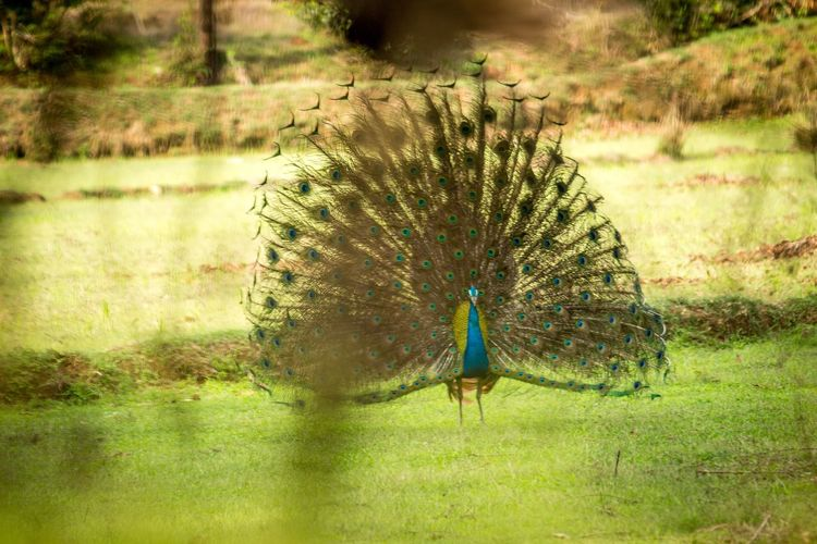 Nature Peacock No People Outdoors Grass One Animal Day Animals In The Wild Beauty In Nature Animal Themes Fanned Out Peacock Feather Bird Water Blue Peacock Dancing Proud Bird King Of Birds Wildlife Photography EyeEmNewHere Be. Ready. Colour Your Horizn