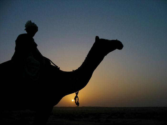 Camel Desert Rajasthan Rural Scene Silhouette Sunset Thar Desert Travelling