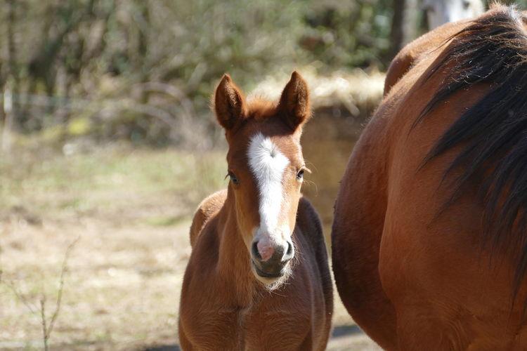 Portrait of a horse foal standing alongside its mother
