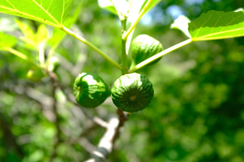 Croatia Figgs Beauty In Nature Branch Close-up Day Figgtree Focus On Foreground Food Food And Drink Freshness Fruit Green Color Growth Healthy Eating Leaf Nature No People Outdoors Plant Plant Part Sunlight Tree