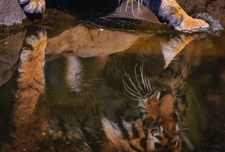Tiger Water Lake Reflection No People Nature Animal Wildlife Day Animal Themes One Animal