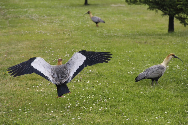 Bird Animal Themes Animal Animals In The Wild Animal Wildlife Vertebrate Group Of Animals Grass Flying Plant Spread Wings No People Green Color Land Day Nature Field Two Animals Outdoors Focus On Foreground