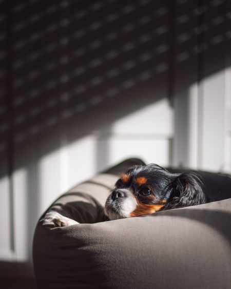 Portrait of dog relaxing on sofa at home