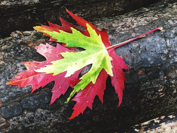 Leaf Change Autumn Maple Leaf Day High Angle View No People Close-up Outdoors Nature Maple Green Color Fragility Water Beauty In Nature Freshness Nature Nature_collection Nature Photography Autumn Leaves Autumn Colors
