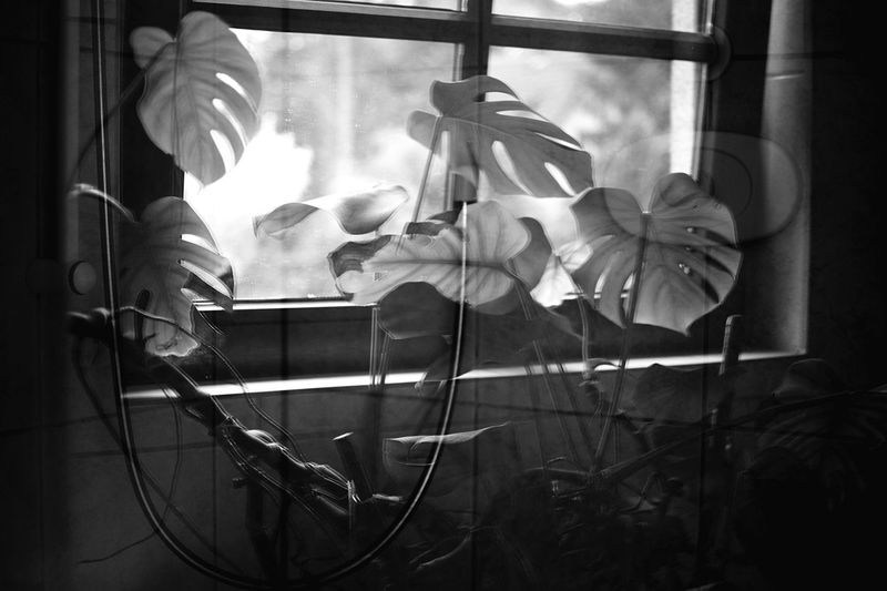 Optical illusion. Monstera Flower Flowering Plant Indoors  Plant Freshness No People Fragility Vulnerability  Home Interior Beauty In Nature Nature Window Glass - Material Petal Flower Head Inflorescence