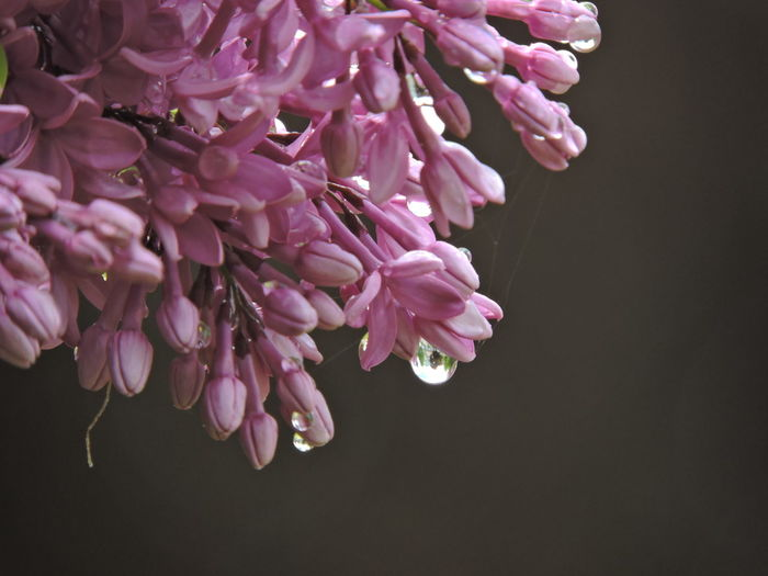 Raindropshot Lilac Flowers Flowering Plant Flower Fragility Vulnerability  Beauty In Nature Plant Freshness Petal Pink Color Close-up Growth Inflorescence Flower Head No People Nature Studio Shot Outdoors Blossom Purple Lilac Bunch Of Flowers Flower Arrangement