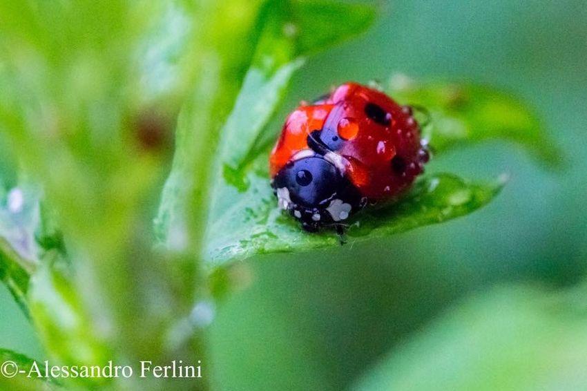 Zoology Ladybug Grass Green Macro Red Black Garden