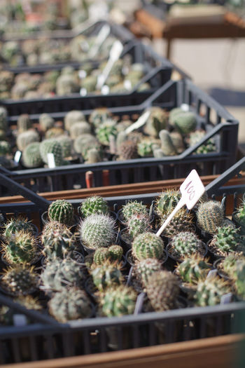 many small cactuses in boxes Growth Day No People Retail  Plant Market For Sale Nature Botany Potted Plant Outdoors Retail Display Market Stall In A Row Seedling Vertical Cactus Small Box Decor Floral Succulent Garden Decoration Botanical