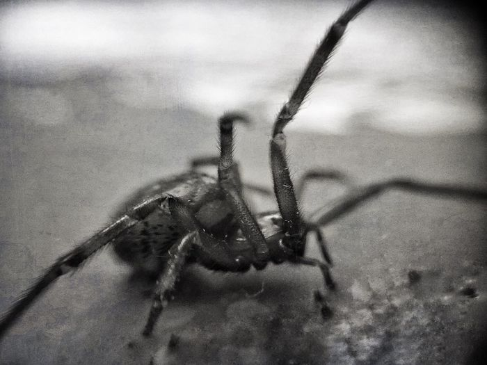 Shelob (in