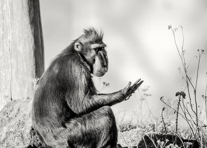 Ape Primate Monkey One Animal Animal Themes Animals In Captivity Mammal Nature Marwell Zoo Animal Wildlife Macaque Ape