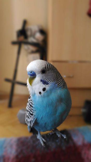 Bird Cute Pets Pets Indoors  Hello World Popular Photos One Animal Blue Pretty Good Times Best EyeEm Shot No People Close-up Best Eyem Photo Türkei Beauty