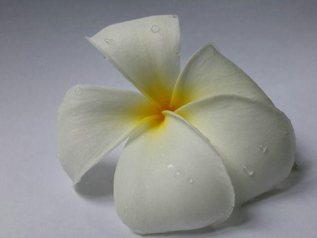 Simply fresh Frangipani Flowerporn
