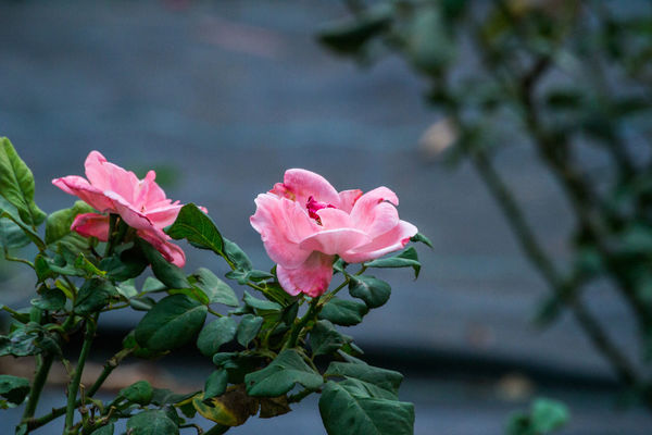 Damask Rose Flower Growth Pink Color Petal Nature Plant Fragility Flower Head Beauty In Nature Focus On Foreground No People Freshness Close-up Leaf Day Outdoors Blooming Water Periwinkle Walkinthepark F4F Beauty In Nature L4l