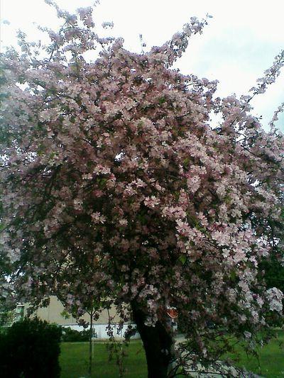 Baumblütenfrühling 2017