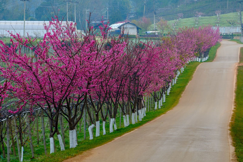 Plant Flower Tree Flowering Plant Nature Growth Pink Color Beauty In Nature Road Day Springtime Freshness Blossom Fragility No People Park Transportation Outdoors In A Row Footpath Treelined Purple Cherry Blossom