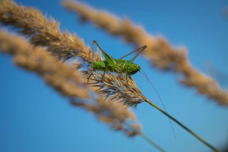 Grasshopper On Plants Against Blue Sky