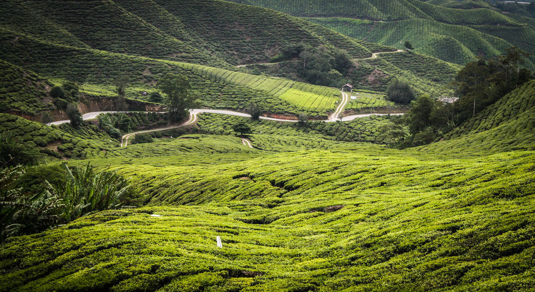 Aerial View Agriculture Cameron Highlands Composition Exploring Farm Field Footpath Green Color Hills Hillside Humidity Landscape Malaysia Outdoors Pathway Pathways Perspective Rural Scene Tea Tea Plantation  Tea Plantations Trail Traveling In Malaysia Traveling Malaysia