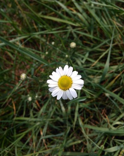Flower Petal Flower Head Nature Growth Fragility White Color Outdoors Freshness Spring Grass Plant No People Close-up Beauty In Nature Day Blooming Daisy One Flower Only Flowers Beauty Naturelovers