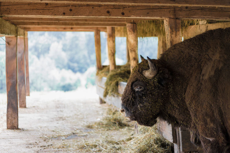 For centuries, he was in the center of our flag and on the shoulders of our king, he was food and hunting toy and provided coats for winter. Jon Snow would have liked the old him. Bison Zimbru Endangered Species Reservation in Romania