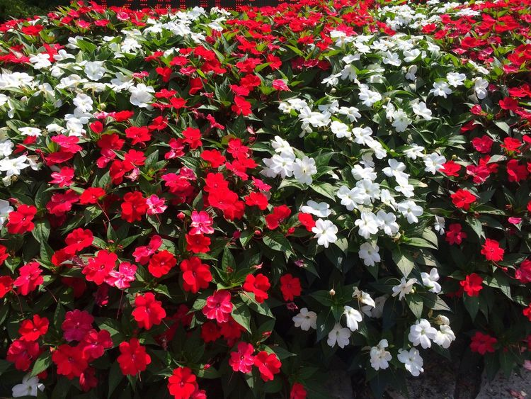 Red and white impatients Flowers Flower Red White Botany Flower Collection Flowers,Plants & Garden Nature Beauty In Nature Blooming Bloom Blooms Blooming Flower Impatient Plants Plants And Flowers Stripes Pattern Striped Pattern