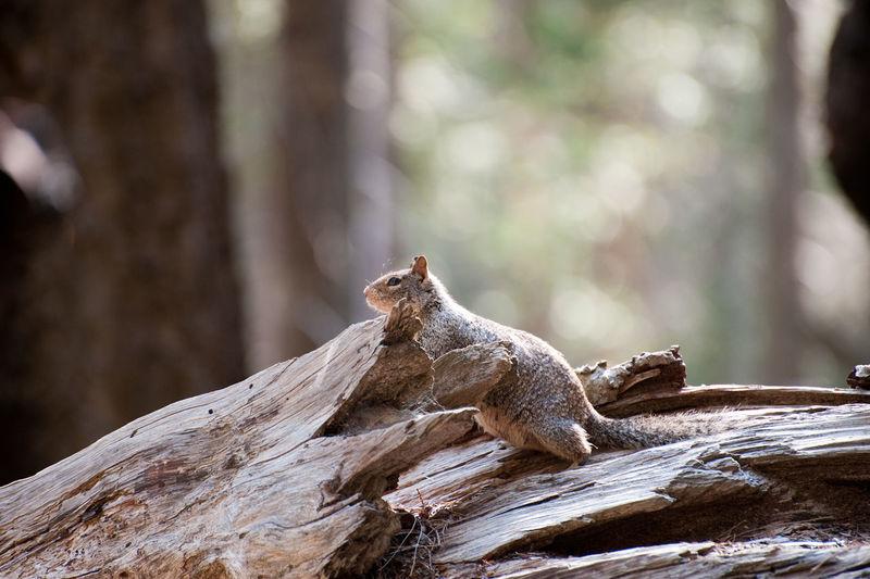 Ground squirrel sitting on log
