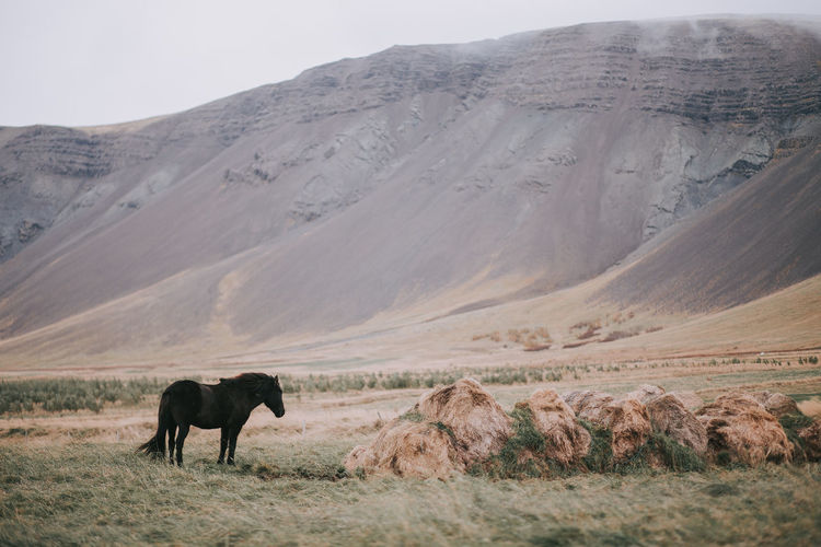 Iceland Animal Themes Animals In The Wild Beauty In Nature Canon Day Field Grass Horse Landscape Mammal Mountain Mountain Range Nature No People One Animal Outdoors Scenics Sky Travel Destinations