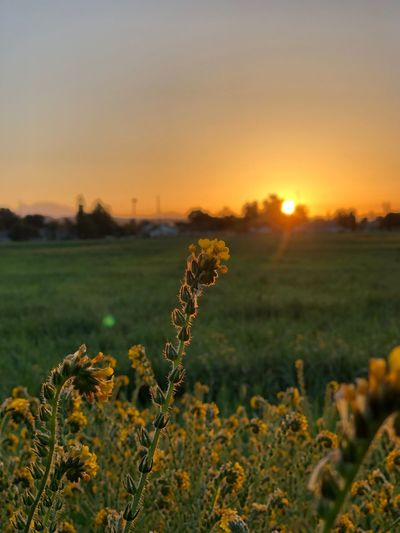 Morning Sunrise_Collection Sunrise_sunsets_aroundworld Sunrise Plant Sky Beauty In Nature Growth Field Tranquility Orange Color Sunlight Flower Landscape