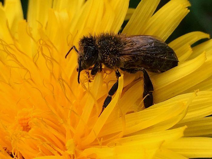 Bienen  Biene Löwenzahn Löwenzahnblüte🍀 Bienen Bei Der Arbeit Biene 🐝 Bees Bee Blütenstaub Flower Flowers Blume Blumen