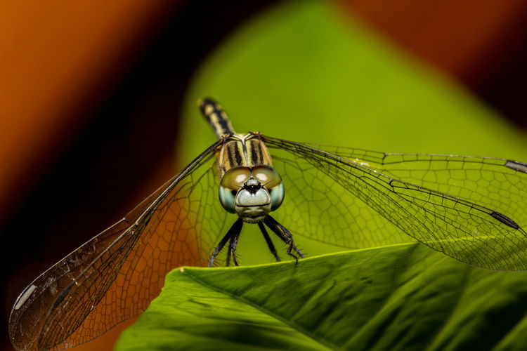 Dragonfly Macro Photography Nature Photography Philippines Travel Animal Themes Animal Wildlife Animals In The Wild Close-up Damselfly Day Dragonflies Focus On Foreground Green Color Insect Leaf Macro Nature No People One Animal Outdoors Photography Selective Focus