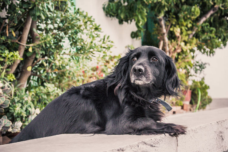 Black dog leaning on retaining wall