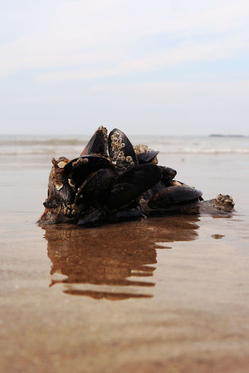 Animal Animal Wildlife Animals In The Wild Beach Beauty In Nature Day Horizon Over Water Land Marine Mussel Mussels Musselshell Nature No People Outdoors Reflection Sea Selective Focus Shell Sky Tranquility Water