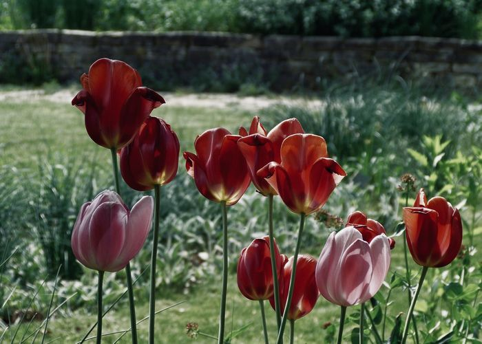 Beautiful tulips in a park Beautiful Pure Backgrounds Blooming Botany Bud Bulb Candid Cultivated Land Field Flower Flowering Plant Focus On Foreground Fragility Freshness Garden Land Landscape Outdoors Park Park - Man Made Space Petal Red Spring Tulip
