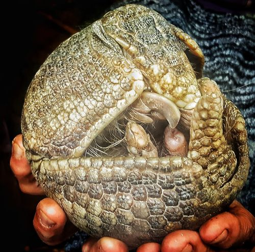 Human Body Part Headwear Human Hand Holding Close-up Indoors  One Person People Day Adult Only Men Samsung Samsung Galaxy S6 Edge Armadillo Armadillophotography Armadillos