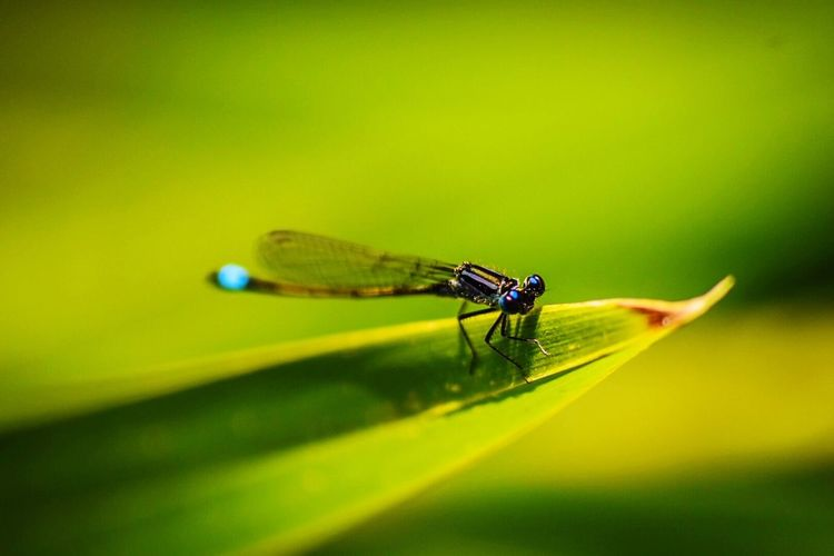 EyeEm Selects LONDON❤ Insect Animal Themes Animals In The Wild Damselfly Green Color One Animal Outdoors No People Day Animal Wildlife Nature Blue Leaf Close-up