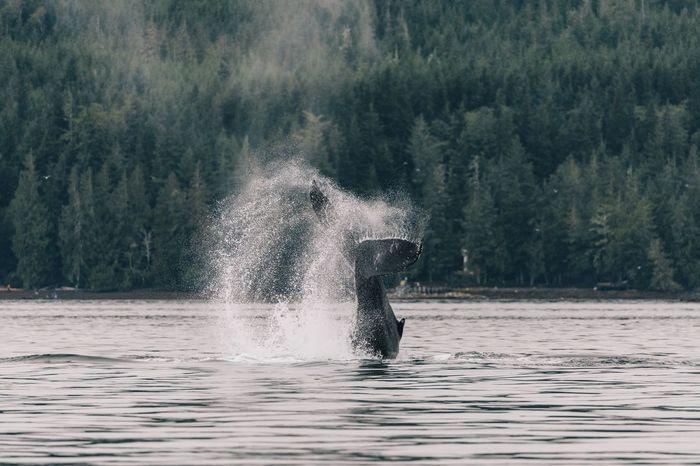 Humpback whale tail Tail Canada Vancouver Island Canada Humpback Whale Splashing Water Motion Animal Animals In The Wild Vertebrate Animal Themes Aquatic Mammal Marine Mammal Animal Wildlife Nature