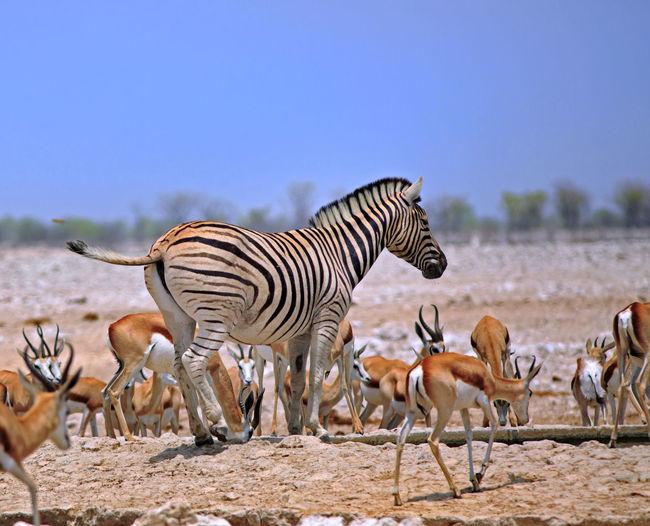 Gazelles and zebra at etosha national park