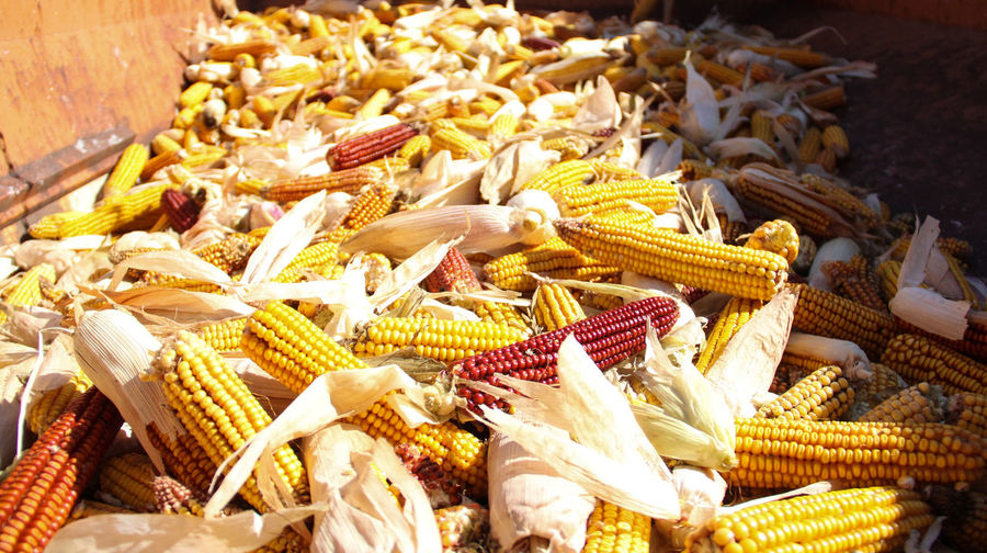 American Made EyeEmNewHere Fall Colors Harvest Season Wisconsin Foo Animal Themes Bread Basket Corn Corn On The Cob Food Food And Drink For Sale Harvest Time Healthy Eating Large Group Of Objects No People Raw Food Red And Yellow Time To Eat Yellow