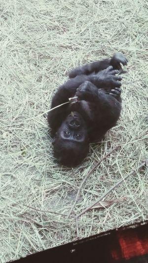 Baby Animals Baby Gorilla Gorilla Love