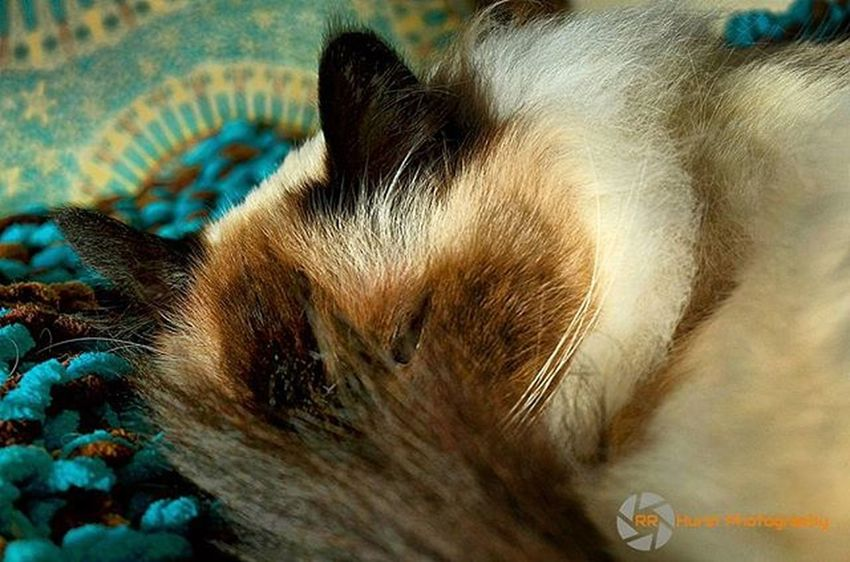 @animalviews This is Hercules. He sleeps a lot, but today he is not feeling great. So sleep away my furry friend. Birmancatsofinstagram Birmancats Catlover Lovethisboy Spoiled HappyCat Seniorcats Turquoise Sleepingcat Sleeping Digitalphotography Southernontariophotographer Lovephotography  Nikonphotographers Nikonphotography Prophotographer Nikond7000 Rrhurstphotography Artsburlington Latowphotographersguild