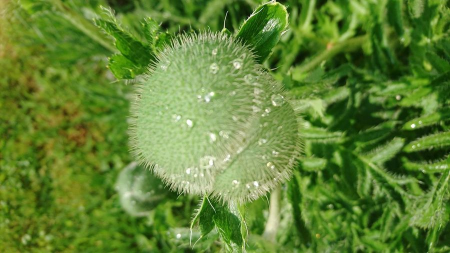 Die Nachbarknospe will sich noch nicht öffnen Türkischer Mohn Nature Green Color Plant Close-up Growth No People Outdoors Focus On Foreground Freshness Day Beauty In Nature Leaf Fragility Flower Springtime Grass Green Color Blooming Freshness Poppy Beauty In Nature Nature Flower Head Plant