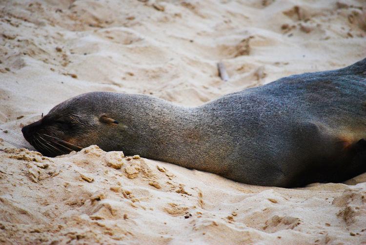 High angle view of elephant seal on sand