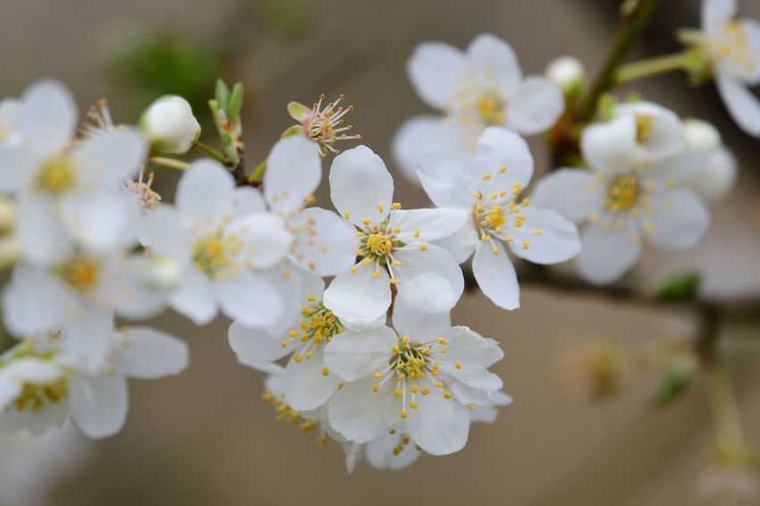 Check This Out EyeEm Best Shots EyeEm Nature Lover Freshness Growth Nature Taking Photos Beauty In Nature Blooming Blossom Branch Close-up Day Flower Flowers Focus On Foreground Fragility Nature_collection No People Outdoors Selective Focus Spring Flowers Springtime White Wildflowers