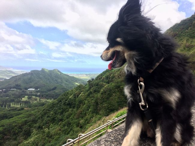 Nofilter Dog Chihuahua Finnish Lapphund Outdoors Nature Mountain Pali Lookout Oahu Hawaii Paradise Paradise On Earth Landscape 808state Beauty In Nature Lookout Fantastic View