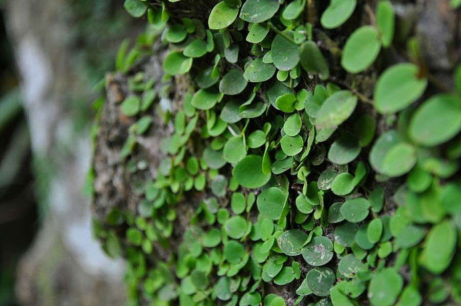 Tree Green Color Close-up Tree Trunk Nature Leaf Forest Selective Focus No People Focus On Foreground Plant Day Outdoors Living Organism Branch Beauty In Nature